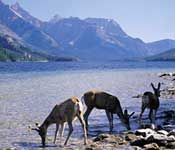 Wildlife in the Canadian Rockies